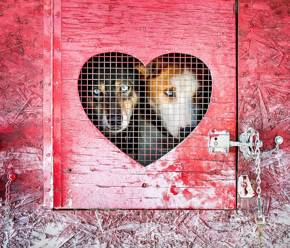 Maine photography of two dogs from a dog sled team look out a opening shaped like a heart in Maine