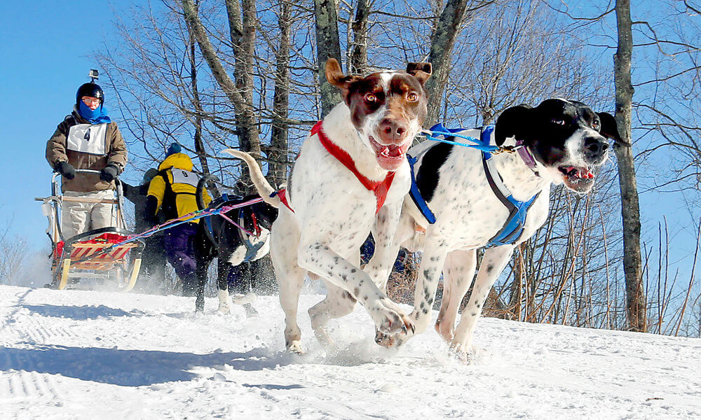 Maine photography of the dogs on a dog sled team at a dog sled event